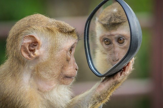 Monkey staring into a mirror.